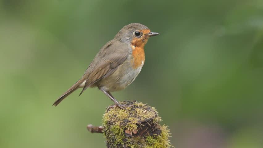 European robin bird animal perched on old tree stump turning watching singing move away | Shutterstock HD Video #1014784451