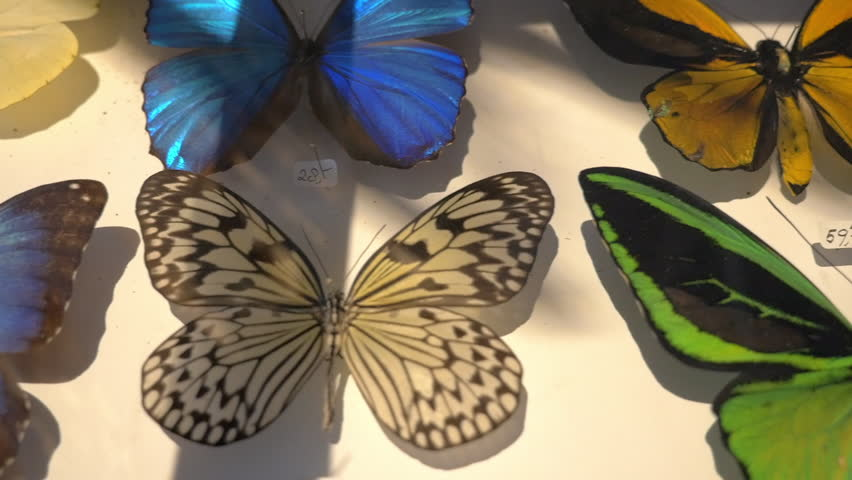 Mounted butterflies in case, tracking shot