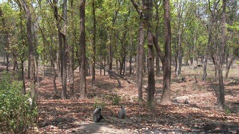 Gray Langur Monkey Several Monkeys Resting Dry Season Troop Forest Trees in India