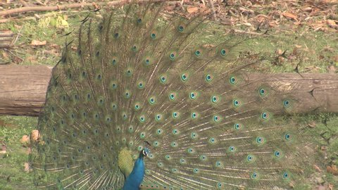 Indian Peafowl Male Adult Lone Calling in Spring PeaDisplay Feathers in India