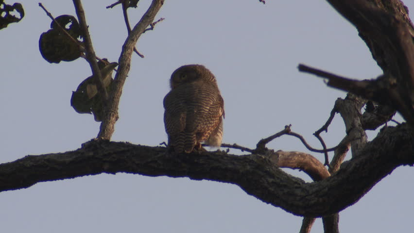 Jungle Owlet Adult Lone in Spring in India