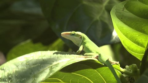 Green Anole Adult Lone Looking Around in Hawaii
