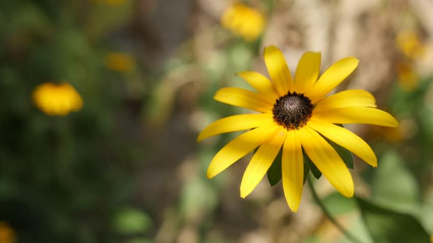 Shallow DOF Rudbeckia fulgida Goldsturm flower petals 4K footage