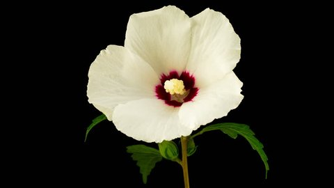 White Hibiscus Flower Blooming. Black Background. Timelapse. 4K.