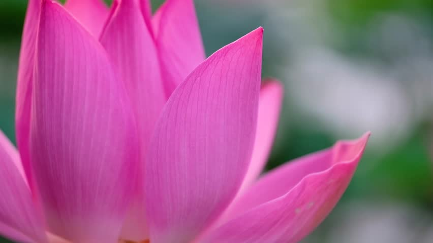 Fresh pink lotus flower. Royalty high quality free stock image of a beautiful pink lotus flower. The background is the pink lotus flowers and yellow lotus bud in a pond. Peace scene in a countryside