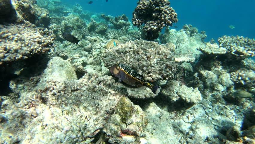 Whitespotted boxfish at maldives