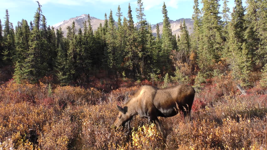 Moose Cow Female Adult Lone Eating in Fall in Alaska