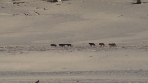 Wolf Adult Immature Pack Several Wolves Walking in Winter Gray Black Color Phase Sinking in Wyoming