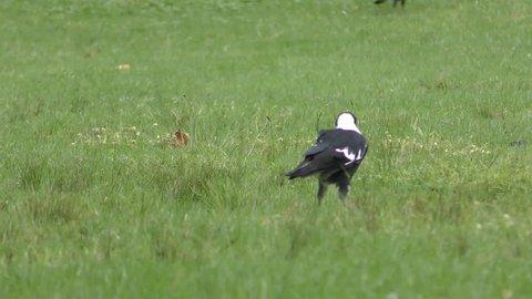 Australian Magpie Adult Lone Walking in Australia