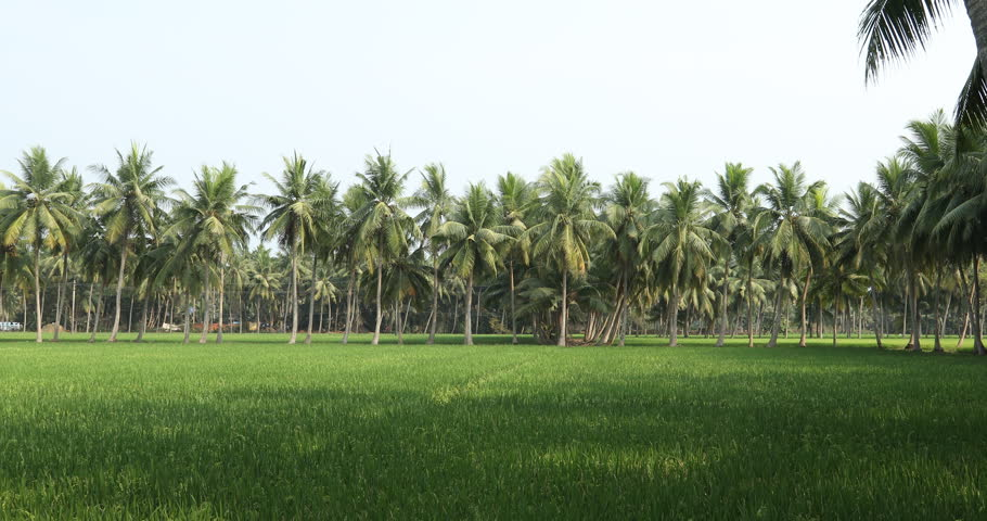 Coconut trees at Rice fields | Shutterstock HD Video #1015004191