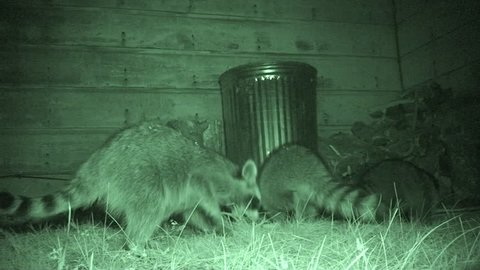 Raccoon Adult Young Family Foraging in Summer Garbage Can Nuisance in South Dakota
