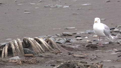 Mew Gull Adult Lone Calling in Fall Carcass Scavenger in Alaska