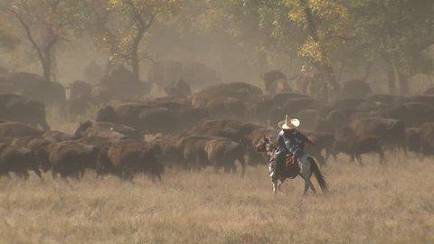 Bison Adult Young Herd in Fall Roundup People Herding in South Dakota