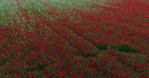 The fast flight over poppies fields making by drone
