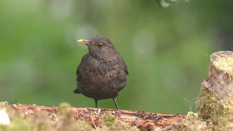 blackbird female bird animal feeding on ground chatter beak  spread wings front view