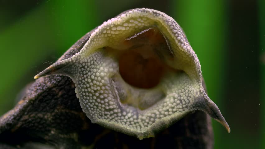 Ancistrus fish mouth
