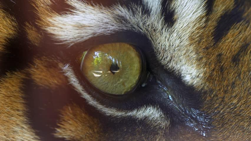 Sumatran tiger (Panthera tigris sondaica) eye detail   Shutterstock HD Video #1015227541