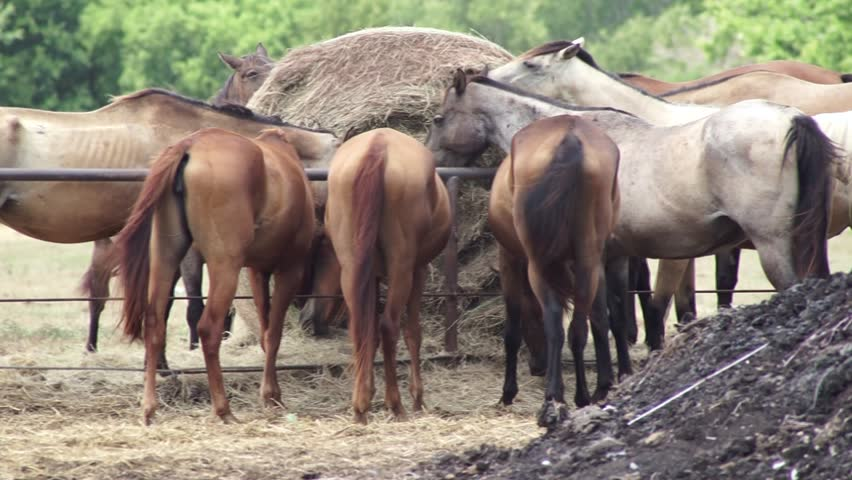 Horses enjoying a bale of hay together. | Shutterstock HD Video #1015370821
