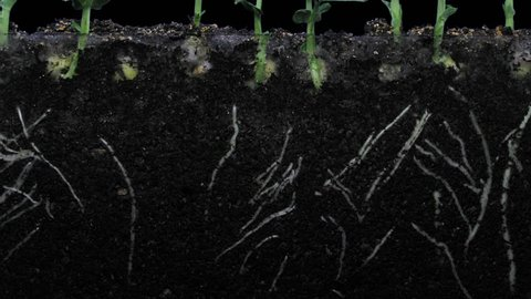 Time-lapse of growing pea vegetables 4b3 in PNG+ format with ALPHA transparency channel isolated on black background