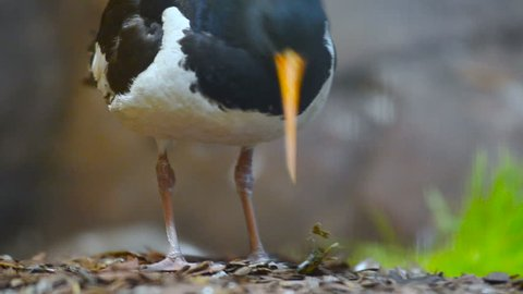 Close view of an Eurasian oystercatcher paws in aviary