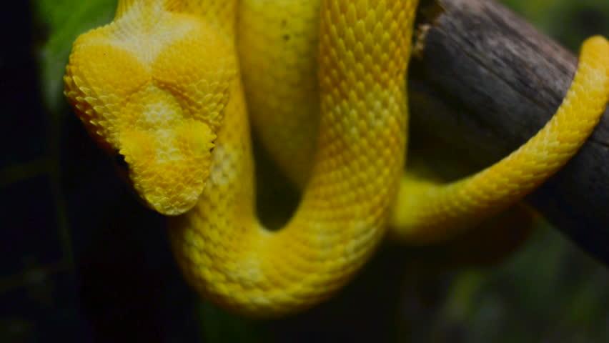 Yellow Eyelash Viper Or Bothriechis Stock Footage Video 100