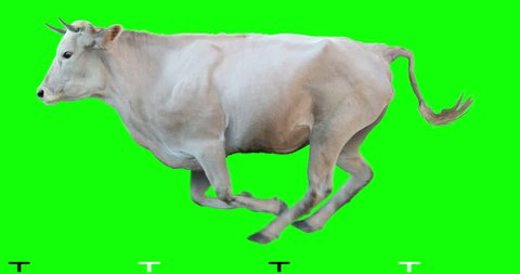 White bull runs on a transparent background. Cyclic animation. Green Screen. Can also use as a silhouette.