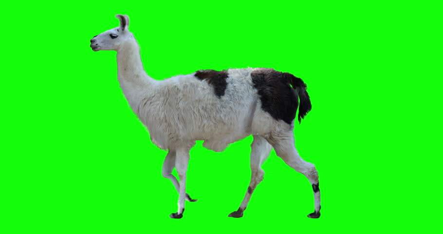 White llama walking. Isolated and cyclic animation. Green Screen. #1015420141