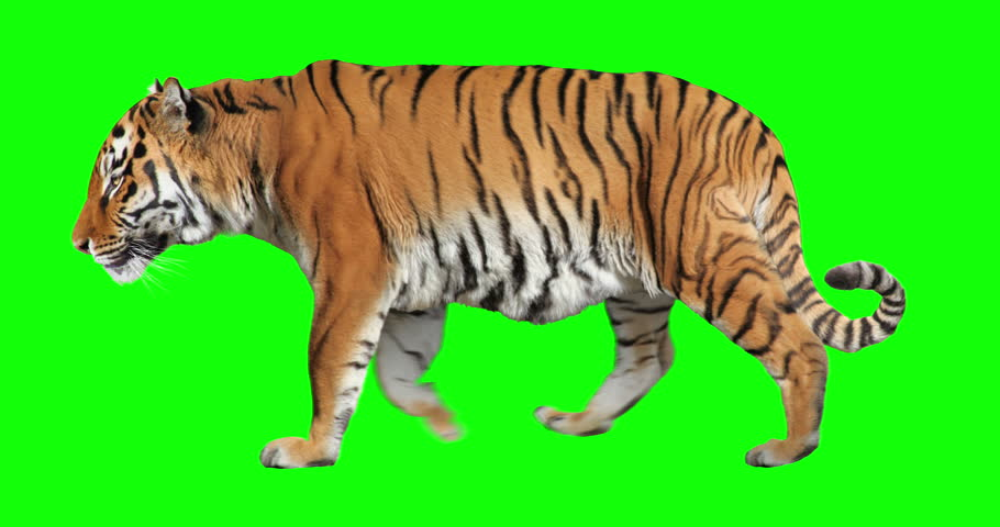 Tiger walking. Isolated and cyclic animation. Green Screen.