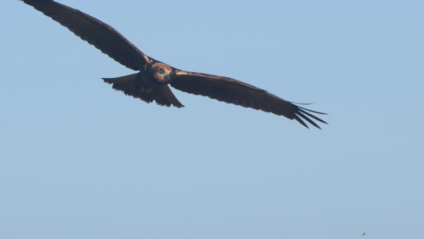 Marsh harrier. Bird in flight. Circus aeruginosus. #1015432321