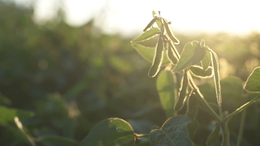Green leaves of soy bean in hand. Slow motion