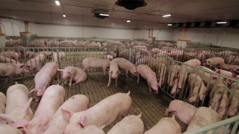 Pig farm with many pigs