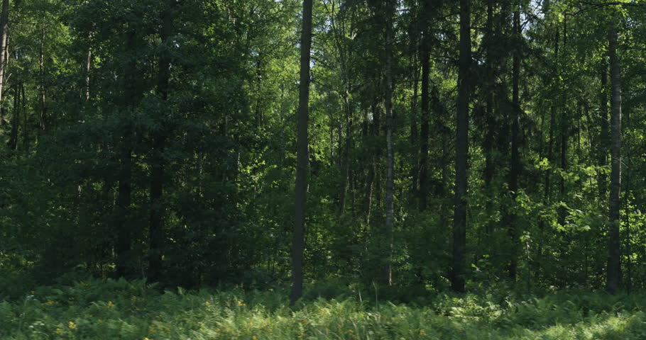 Driving plate side view of green mixed forest on summer sunny day from slow moving car