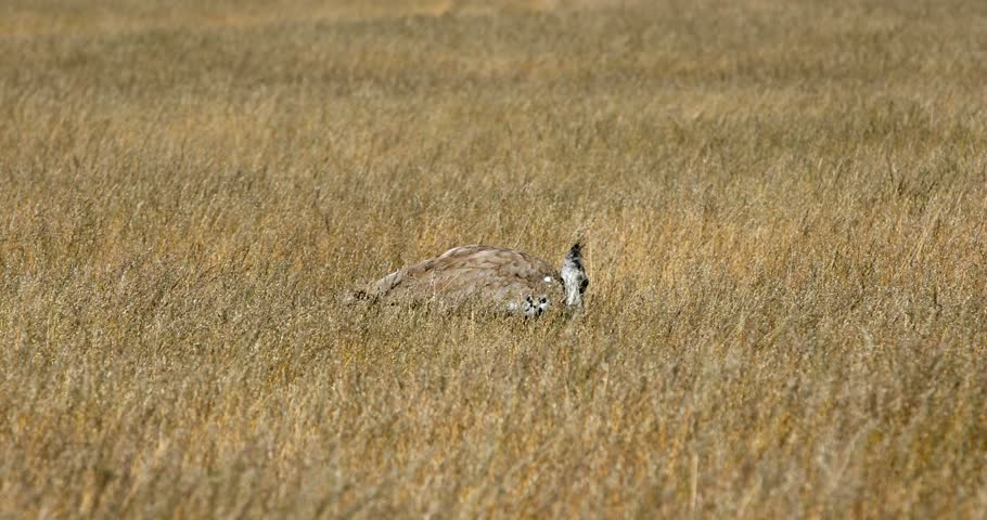 Kori Bustard in african bush, Africa, Namibia