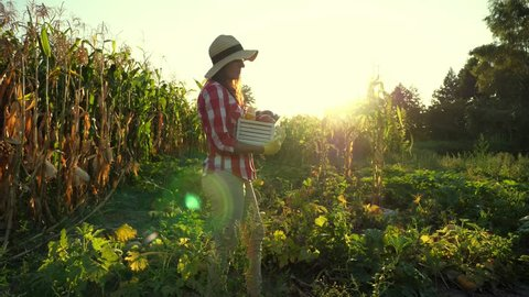 at sunset, female farmer in plaid shirt and hat walks through the field, vegetable garden, holds box with different fresh vegetables, harvest on farm, summer. cornfield background .