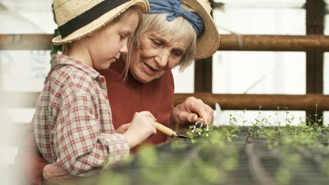 Handheld shot of happy senior woman with grey hair talking and hugging little girl helping her care for seedlings in greenhouse. They are smiling and weeding soil in pots with small rake and trowel