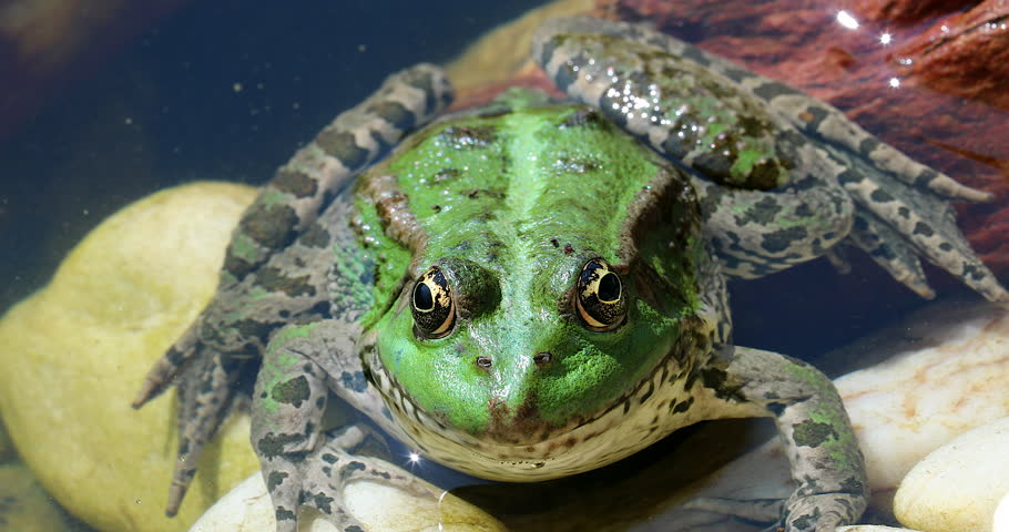 Green Frog In The Water. Close Up Portrait Of Iberian Green Frog, Also Known As Iberian Water Frog Or Coruna Frog (Pelophylax Perezi) - DCi 4K Resolution