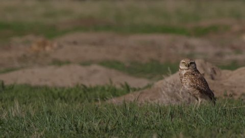Close on burrowing owl on ground of prairie dog town on warm of summer day