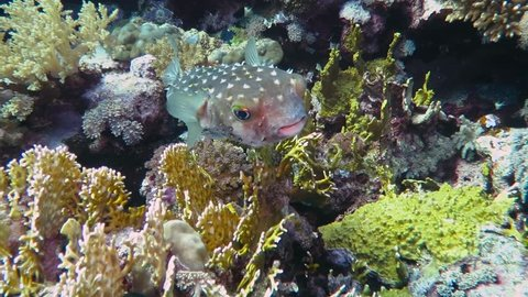 Long-spine porcupinefish and coral reef. Tropical Diodon holocanthus, blowfish, swimming close to the tropical coral reef wall. Scuba diving with underwater animal. Fish swimming around the corals.