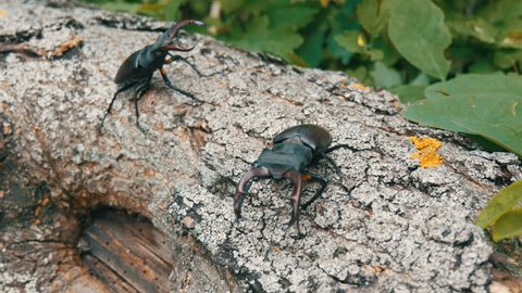 Two big deer beetles Lucanus cervus creep along the tree. Rare beetles in the forest