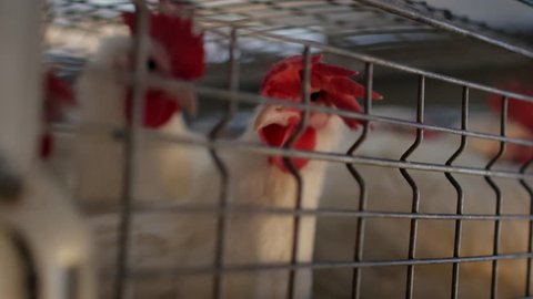 Breeding broiler chickens and chickens, broiler chickens sit behind bars in the hut, poultry house, pen