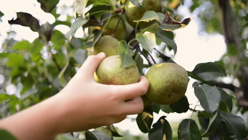 hand picking of few pear fruits from tree branch by summer evening