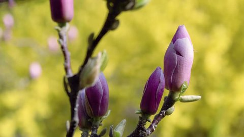 pink magnolia buds, flowers of the pink magnolia, pink Magnolia flowers on tree branch