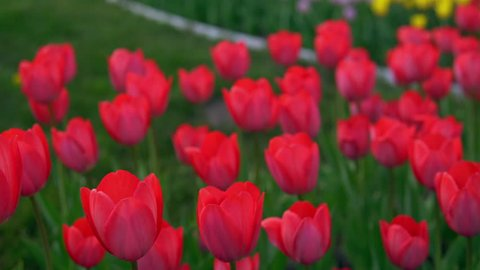 Flowerbeds of red, yellow and orange tulips. Close up of red star tulips.