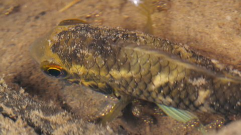 Amazonian cichlid fish brooding its young in the wild. Both male and female cichlids look after their babies. In a shallow rainforest pool in the Ecuadorian Amazon.