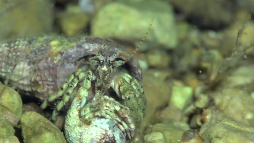 Pair of Diogenes pugilator are mating. It is a species of hermit crab, sometimes called the small hermit crab or south-claw hermit crab. It is found from the coast of Angola to as far north as the Nor