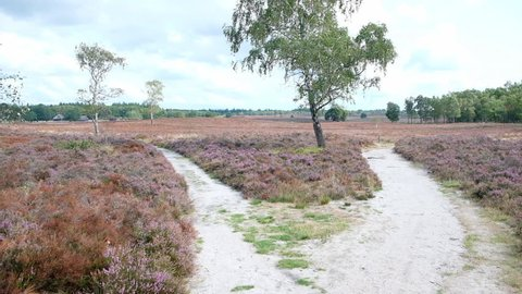 Walking in a Heathland landscape with blooming Heather plants in during a summer day.