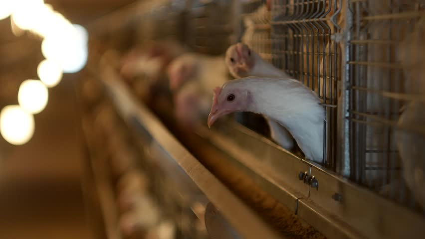 Breeding broiler chickens and chickens, broiler chickens sit behind bars in the hut, poultry house, house-house