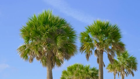 Green palm tree on blue sky background. Palm trees against a beautiful blue sky. Beach on the tropical island. View of palm trees against sky. Palm trees blowing in the wind.