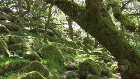 Close up aerial shot tracking back in the heart of Wistman's Wood, Dartmoor, England