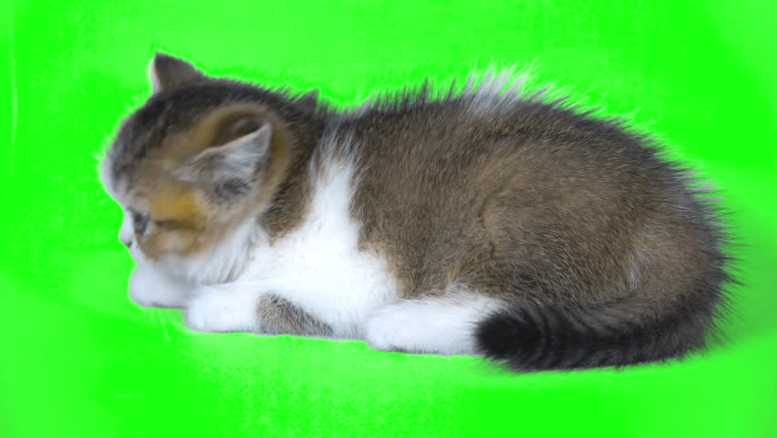 4K Ultra Hight Definition Close Up Kitten Looks Around with Chroma Key Background and Green Screen Cute Little Cat Small and Furry with a Bowl   Shutterstock HD Video #1015803211